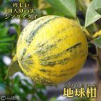 地球柑 (シマダイダイ) 接ぎ木18cmポット苗