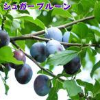 プルーン ( セイヨウスモモ) 『 シュガープルーン 』 15cmポット 接木苗
