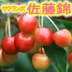 サクランボ 『 佐藤錦 (さとうにしき) 』 15cmポット苗