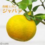 幻の柑橘と云われた、ジャバラ!花粉症にも効果!
