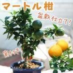 実付き マートル柑 接ぎ木苗 4号鉢植え(盆栽仕立て)数量限定販売
