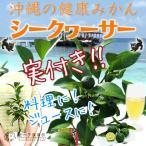 《実付き!!》 シークワーサー (シークヮーサー) 接ぎ木苗 3.5号鉢植え