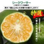 沖縄の健康みかん 実付き シークワーサー 送料無料 5号鉢植え 接ぎ木苗