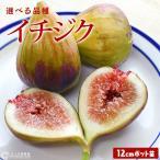 """低カロリーで美容と健康に良い果実""""イチジク"""" 鉢植え 庭植えともに、初心者のかたでも育てやすい果樹で..."""