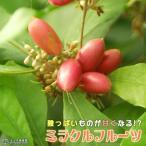 ミラクルフルーツ ( ミラクルベリー ) 4号鉢植え