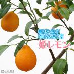 珍種!! 『姫レモン (ヒメレモン)』 15cmポット接木苗