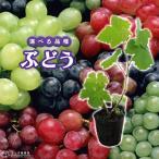 【選べる品種】 ぶどう 全8品種 9cmポット苗