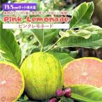 斑入りレモン『ピンクレモネード』(2年生)13.5cmポット接木苗