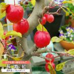 実付き!りんご 長寿紅 18cm鉢植え