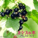 カシスの木 (黒フサスグリ、ブラックカーラント) 7号スリット鉢植え 株立ち大苗