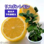《実付き!!》リスボンレモン 5号鉢植え(※1個なり)