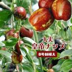 大実 ナツメ ( 皇帝なつめ ) 2年生接 ぎ木苗 8号スリット鉢植え