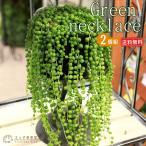 多肉植物 『グリーンネックレス(緑の鈴)』 7.5cmポット苗 2個セット