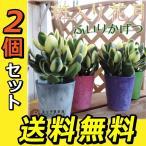 多肉植物  『斑入り花月』2個セット (黄金錦) 9cmポット苗