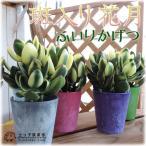 多肉植物 『斑入り花月』(黄金錦)【選べるカラーポット入り】