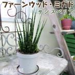 シャープでスタイリッシュなのにカワイイ!丈夫な観葉植物!