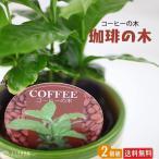 ミニ観葉植物 『 コーヒーの木 』 2個セット ( 送料無料 ) 9cmポット