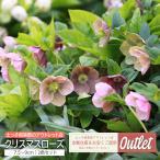 【訳あり・在庫処分】 クリスマスローズ 9cmポット苗 ( 2色セット )