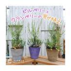 健康果樹の鉢植えベリー!家庭果樹、観賞用として楽しめます!