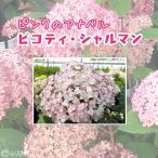 ピンクのアナベル 『 ピコティ シャルマン 』 9cmポット苗 ( アジサイ ハイドランジア )
