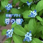 花, 園藝 - 常緑アジサイ 『 碧の瞳 ( アオノヒトミ ) 』9cmポット苗 珍種