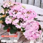 ショッピングアジサイ 【送料無料】母の日のプレゼント『ダンスパーティー』5号鉢カゴ入り