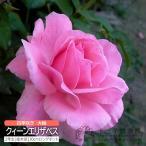 四季咲き大輪 『 クィーンエリザベス 』 2年生接 ぎ木苗 ( ハイブリットティーローズ ) 世界殿堂入り薔薇