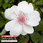オールドローズ 四季咲き 『ジャクリーヌ・デュ・プレ』 2年生接ぎ木苗  四季咲