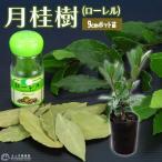 月桂樹(ローレル) 9cmポット苗