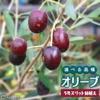 【選べる品種  全13品種! オリーブ (3年生) 5号スリット鉢植え