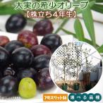 【選べる品種】希少品種 大実オリーブ 株立ち大苗 4年生 7号スリット鉢植え(全3品種)