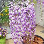 今期開花の見事な苗木!鉢植えで美しい花穂が長い藤の花!