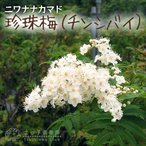 珍珠梅 (チンシバイ) 『ニワナナカマド』 18cm鉢植え