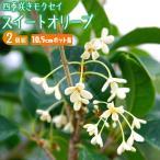 スィートオリーブ 『四季咲きモクセイ』 10.5cmポット苗【2個組】