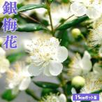 ショッピングハーブ 香る花木 『銀梅花 (ギンバイカ)』 15cmポット苗