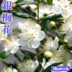 香る花木 『銀梅花 (ギンバイカ)』 18cmポット苗
