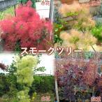 スモークツリー ( カスミの木 ) 13.5cmポット苗