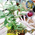 ロシアンオリーブ ( 細葉グミ ) 18cmポット苗木