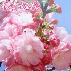 桜『楊貴妃(ようきひ)』 接ぎ木 12cmポット苗