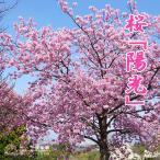 桜 『陽光』 15cmポット苗