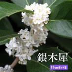ショッピング苗 ギンモクセイ(銀木犀) 15cmポット苗