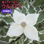 ヤマボウシ『ウルフアイ』  5号鉢植え 《花芽付き!!》