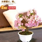 桜盆栽 一才桜 旭山(あさひやま)2個セット/送料無料《花芽付き》