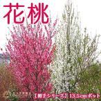 花桃 ( 照手シリーズ ) 13.5cmポット苗 花芽付き