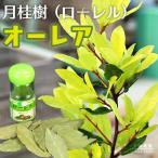 月桂樹 『 オーレア ( 黄色葉 ) 』 10.5cmポット苗  ( ローレル )画像