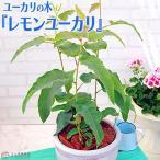 ユーカリの木 『レモンユーカリ』 10.5cmポット苗