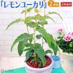 ユーカリの木 『レモンユーカリ』 10.5cmポット苗 2個セット