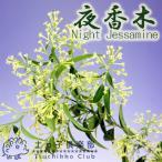 ショッピング花 ナイトジャスミン 『 夜香木 』 12cmポット苗