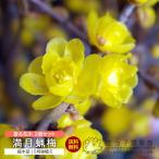 満月蝋梅 (まんげつろうばい) 2個セット 送料無料 5号鉢植え