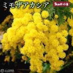 シンボルツリーにお薦め!シルバーリーフと愛らしい花が魅力。